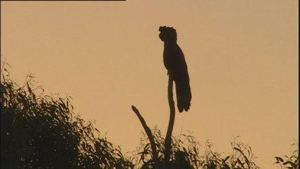 WA Carnaby cockatoos under threat from diminishing habitat - ABC News (Australian Broadcasting Corporation) | Australian animals | Scoop.it