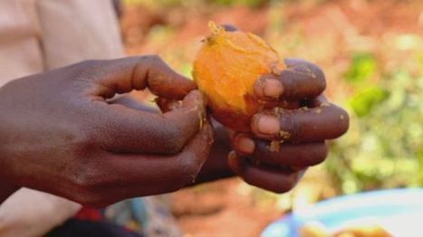 Sweet potato Vitamin A research wins World Food Prize - BBC News | Erba Volant - Applied Plant Science | Scoop.it