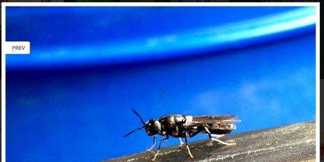 Cette usine de... mouches en Poitou-Charentes qui pourrait révolutionner le monde des biodéchets | Veille Scientifique Agroalimentaire - Agronomie | Scoop.it
