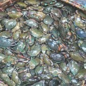 Bangladesh Crabs in danger from poachers | Wildlife Trafficking: Who Does it? Allows it? | Scoop.it
