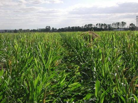 Les coopératives Maïsadour et Terrena étudient le rapprochement de leurs activités semences pour créer un leader européen du secteur - L'Anjou agricole | Chimie verte et agroécologie | Scoop.it