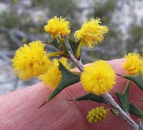 Esperance Wildflowers: Acacia delphina - Dolphin Wattle | Australian Plants on the Web | Scoop.it