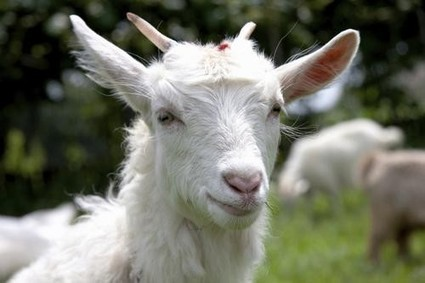 Goats Are the Best Animals on the Internet | Technology and its Review | Scoop.it