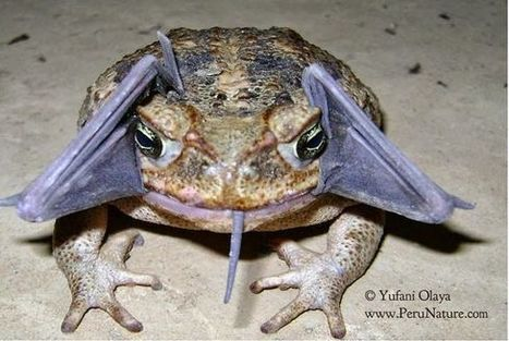 Bizarre sighting: Toad swallows a bat whole | Limitless learning Universe | Scoop.it