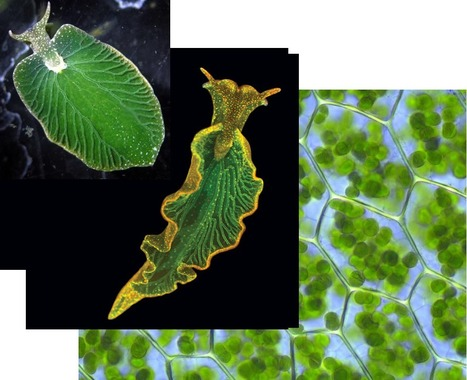 Elysia chlorotica, a solar-powered sea slug is an energy-efficient gene thieve | Amazing Science | Scoop.it
