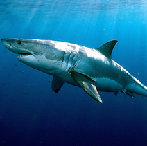 Great Whites Could Be Longest-Lived Sharks - Discovery News | World News | Scoop.it