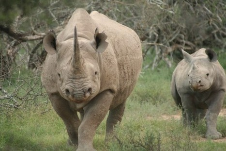 Black Rhino Hunt Auction Won't Help Conservation | What's Happening to Africa's Rhino? | Scoop.it