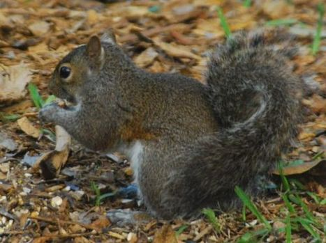 Gray Squirrel in Enchanted Forest Park | A. S. Hochman | Looks - Photography - Images & Visual Languages | Scoop.it