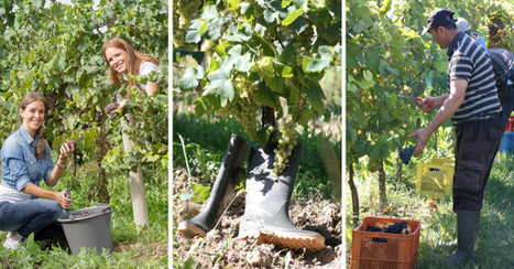 HARVEST: WHERE THE MAGIC IN THE BOTTLE STARTS - Candoni De Zan Family | Horticulture | Scoop.it