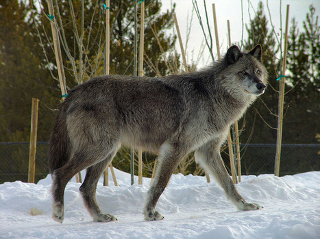 Success: Wolf Hunting Put on Indefinite Hold | GarryRogers NatCon News | Scoop.it