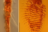 230-Million-Year-Old Mite Found in Amber | Science Geek | Scoop.it