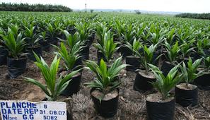 'L'avenir de l'huile de palme est en Afrique' | Agriculture | Scoop.it
