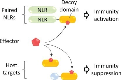 Oncotarget: Plant immune receptor decoy: Pathogens in their own trap (2015) | Effectors and Plant Immunity | Scoop.it