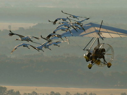 A Whooping Crane Migration Will Finish By Truck | Sustainable Futures | Scoop.it