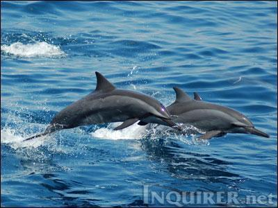 Subic dolphin dies on flight to Singapore | Earth Island Institute Philippines | Scoop.it