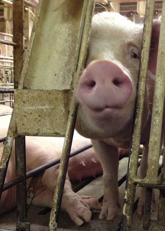 VIDEO: Pigs Punched and Beaten for Walmart | Nature Animals humankind | Scoop.it