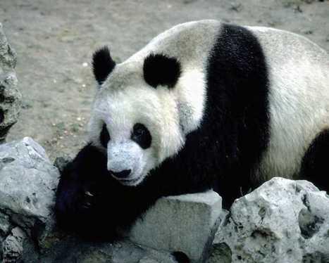 Le panda géant | Natura Sciences | Projet S.V.T : Protéger la biodiversité | Scoop.it