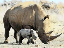 Our appetite for potions killing rhinos - IOL SciTech | IOL.co.za | What's Happening to Africa's Rhino? | Scoop.it