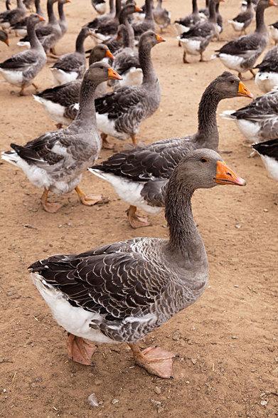 Japan bans French foie gras imports over bird flu virus   Virology News   Scoop.it