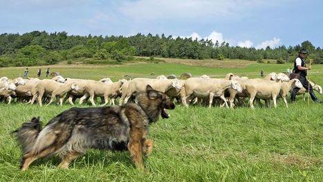 Le chien de berger agit selon un simple modèle mathématique | The Blog's Revue by OlivierSC | Scoop.it