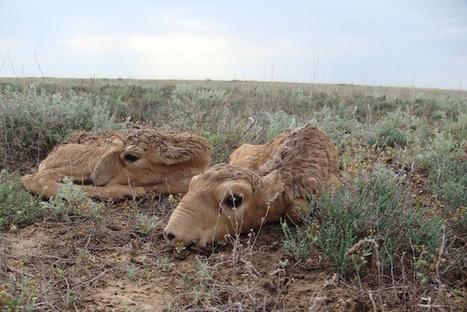 BIODIVERSITY: How can we save the Saiga? | > Animal Welfare | Scoop.it