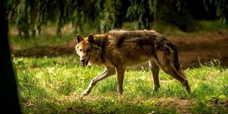Un loup abattu dans la Drôme | Loup | Scoop.it