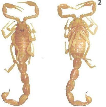 Une nouvelle espèce de scorpion du genre Buthus au Soudan | EntomoNews | Scoop.it