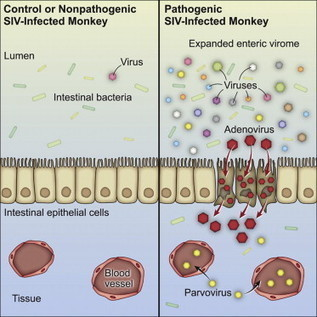 Cell - Pathogenic Simian Immunodeficiency Virus Infection Is Associated with Expansion of the Enteric Virome | Next generation sequencing for global infectious disease control | Scoop.it