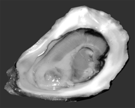 Oyster Aficionado | OI Newsletter - A web family | Scoop.it