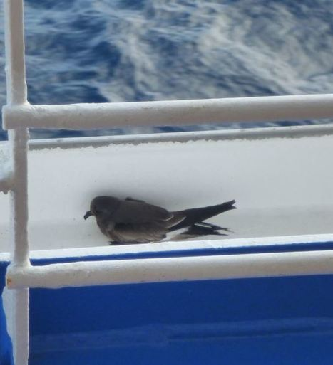 Wildcare - WildCare Rescues Storm Petrel While on Vacation | Compassion in Action | Scoop.it