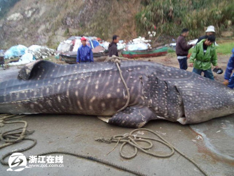 5-ton fish caught in net may be endangered whale shark - Headlines, features, photo and videos from ecns.cn|china|news|chinanews|ecns|cns | All about water, the oceans, environmental issues | Scoop.it