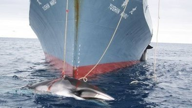 Japan banned from Antarctic whaling | Cultural Geography | Scoop.it