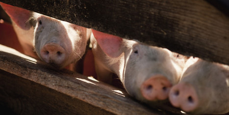 Killer Pig Virus Wipes Out More Than 10 Percent Of [US] Hogs | Virology News | Scoop.it