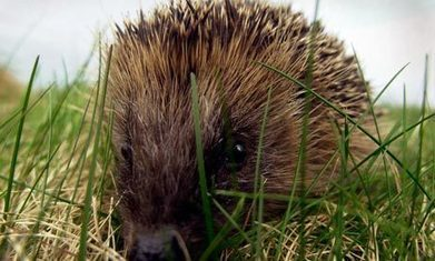 Hedgehog population in dramatic decline | State of Nature | Scoop.it