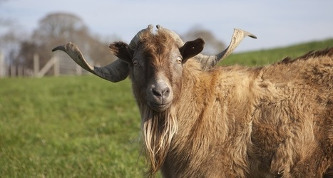 Livestock: A need to save rare breeds - Science News for Students | Tannery | Scoop.it