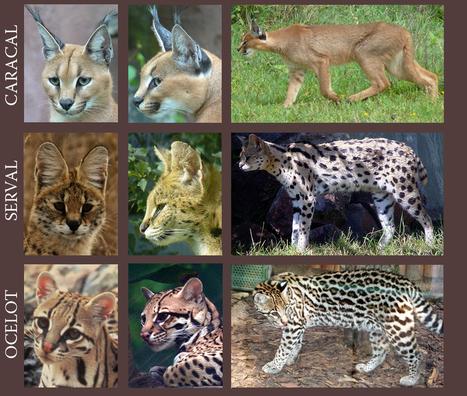 Feline Comparison | Art References | Scoop.it