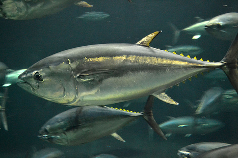JAPAN: Mass production affects the conservation and management of Pacific bluefin tuna | THE SUMER - SCYTHIANS Beginning of the Bronze Age | Scoop.it