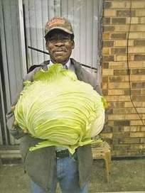 Louisiana Gardener Grows 22 Pound Cabbage of Luck! | Best Home and Garden | Scoop.it