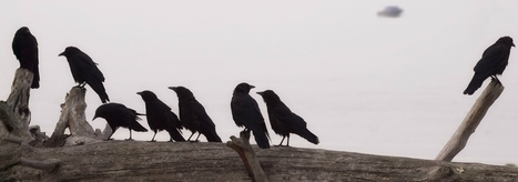 The Unexpected Genius of Corvids   Animal Empathy & Natural Pet Care   Scoop.it