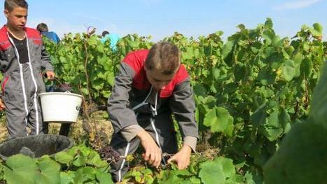 Bientôt deux cépages pour un nouveau muscadet | Le Vin et + encore | Scoop.it