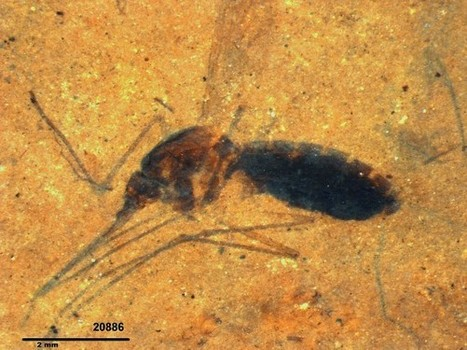 "Blood Found in Mosquito Fossil: ""One of a Kind"" 