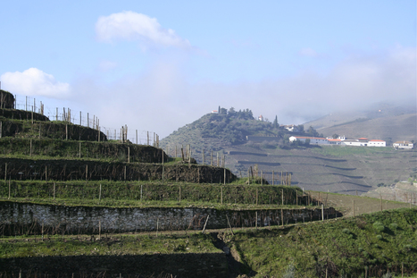 Field blends bring disease resistance | The Douro Index | Scoop.it