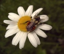 Flower Signals Electrify Nectar-Seeking Bees « Science World | PlanetNews | Scoop.it