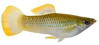 Biologists find genetic mechanism for 'extremophile' fish survival   Gaia Diary   Scoop.it