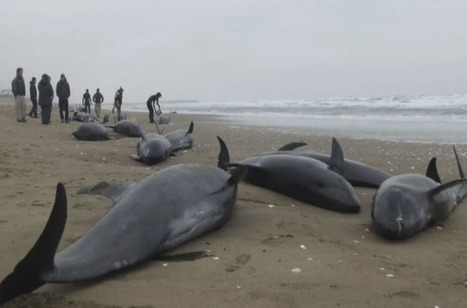 Dead #Dolphins In #Fukushima Stranding Found With White Radiated... #radiation | Messenger for mother Earth | Scoop.it