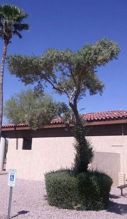 Arizona Gardeners: Follow tips for healthy, successful trees and shrubs | CALS in the News | Scoop.it