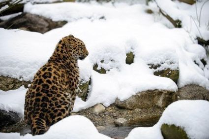 Amur leopard population in Russia up 50 per cent, WWF says - The Times of India | amur leopard | Scoop.it
