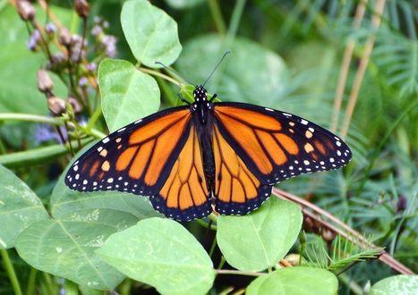 "Migrating Monarch Butterflies in ""Grave Danger,"" Hit New Low | Climate change challenges | Scoop.it"