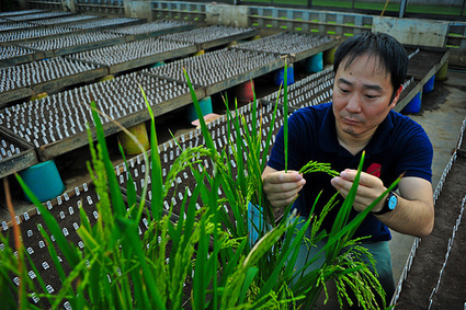 PNAS via IRRI: Gene discovery leads way to more rice | Plant Biology Teaching Resources (Higher Education) | Scoop.it