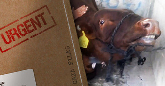 Live exporters would have gotten away with this. Except it was caught on film... | Nature Animals humankind | Scoop.it